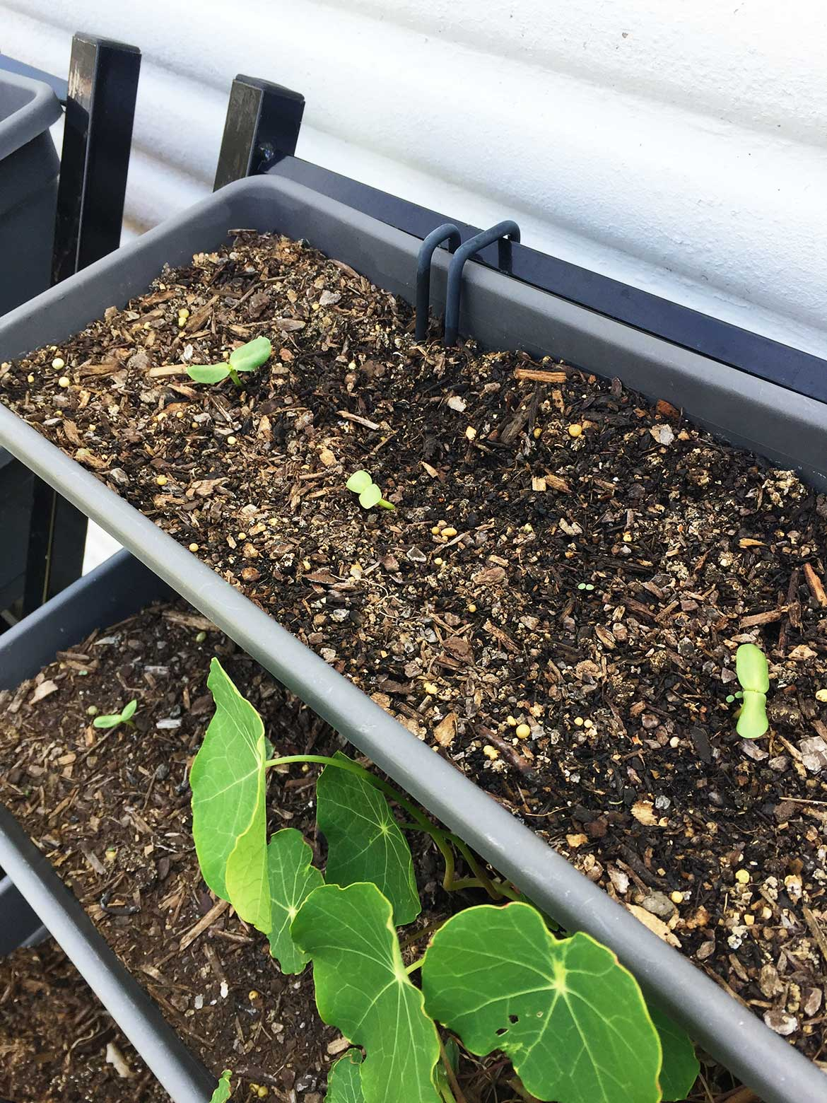 "Growing sunflowers from seed. I like to start seeds in a pot and move them to the ground once they are about 5cm (2"") tall."
